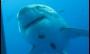 Veja novas imagens do maior tubarão-branco do mundo