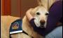 Cães acalmam testemunhas em tribunais dos EUA